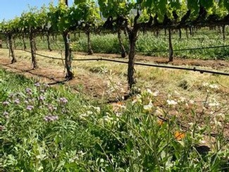 Flowering Cover Crop at McIntyre Vineyards